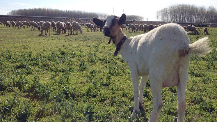'Chivi', la cabra favorita de Antonio. Foto: Luis F. Ruiz