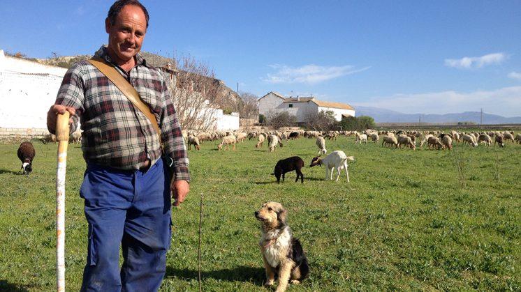 Antonio, en la vega donde pasta con sus cabras y ovejas. Foto: Luis F. Ruiz