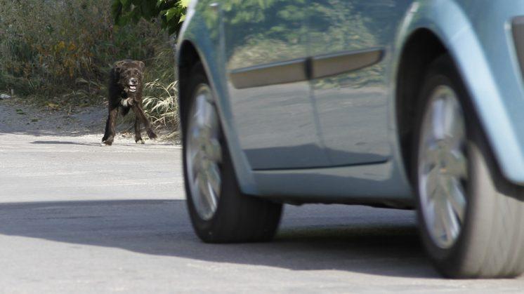 Un perro, en una de las vías del cinturón metropolitana, dudoso de cruzar o no. Foto: Álex Cámara