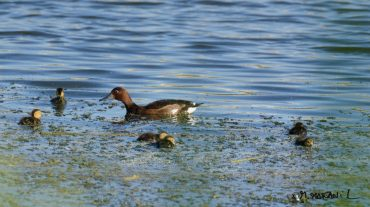 La Charca de Suárez se consolida como zona de reproducción de especies amenazadas