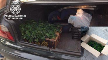 Dos detenidos cuando transportaban en su vehículo 300 esquejes de plantas de cannabis