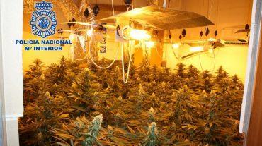 Detenido por tener una plantación con 266 plantas de marihuana en una vivienda