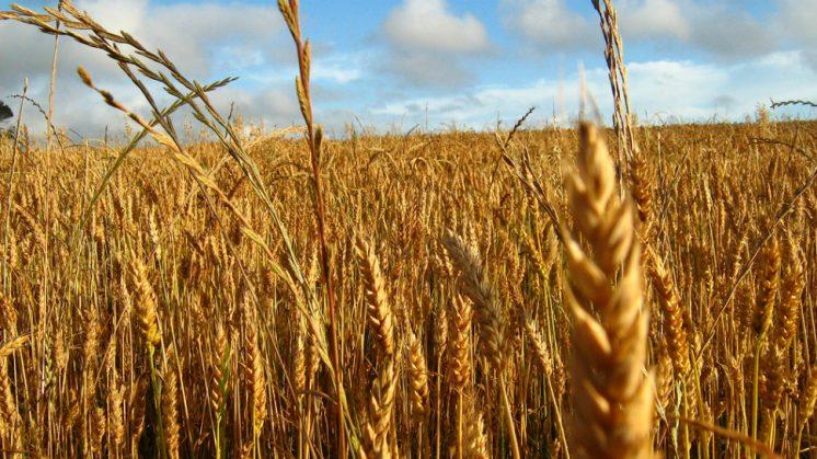 La celiaquía es una enfermedad sistémica causada por una intolerancia permanente al gluten de la dieta (contenido en el trigo, cebada y centeno). Foto: aG